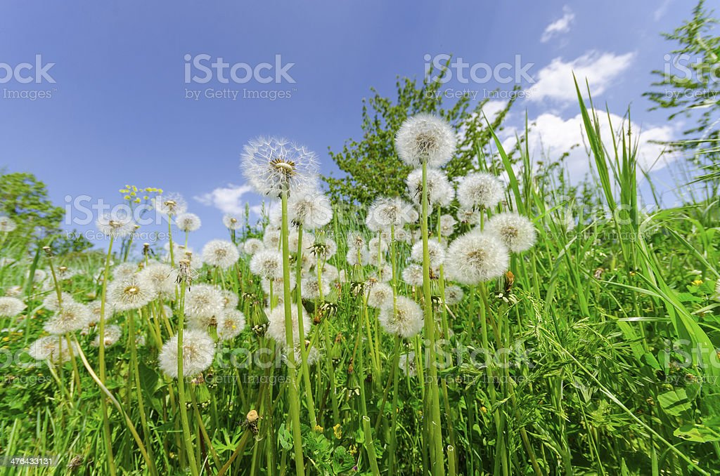 Dandelions in the green grass meadow and blue bright sky royalty-free stock photo