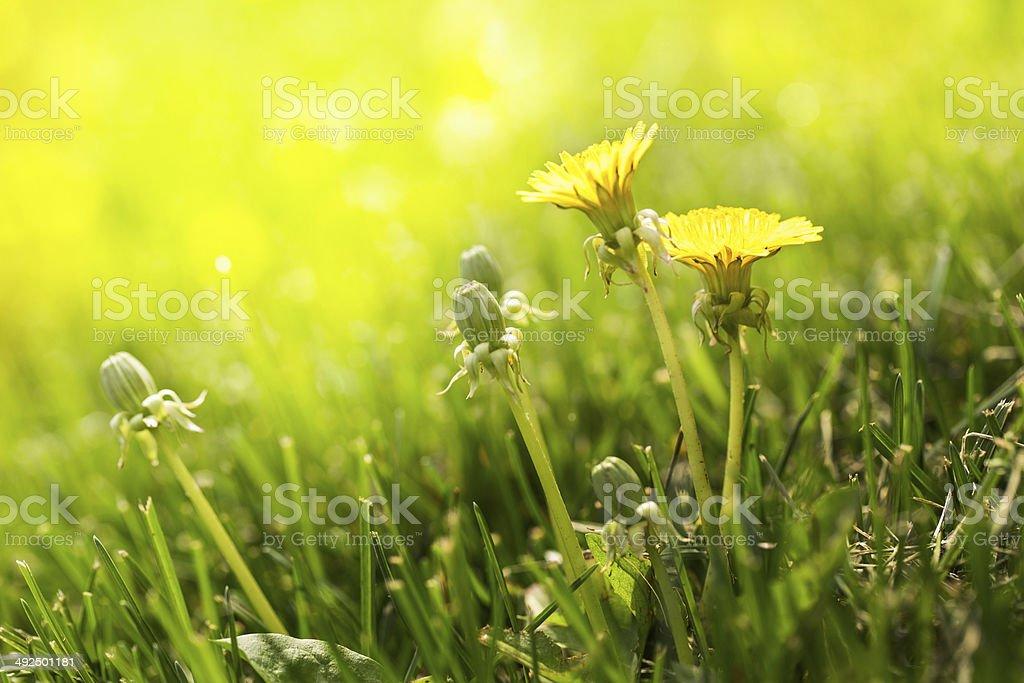 Dandelions In The Sun In Grass Lawn stock photo