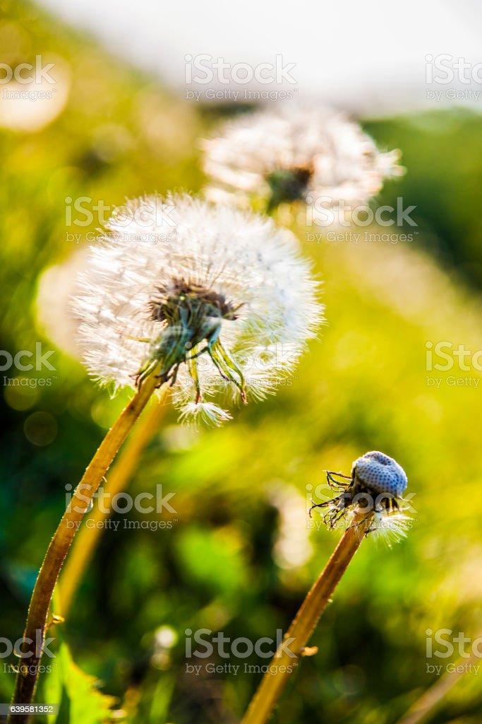 Dandelions in the sun stock photo