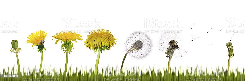 dandelions life in grass royalty-free stock photo