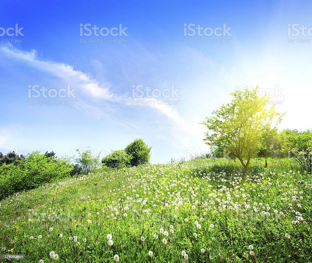 Dandelions on a green meadow stock photo
