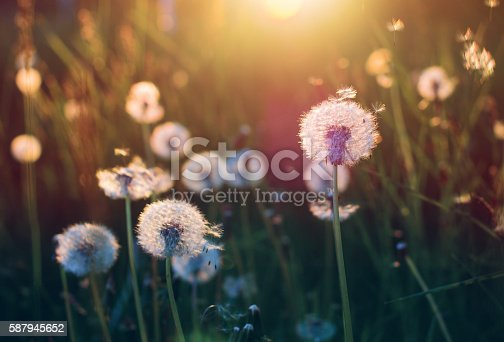 Dandelions on a sunny evening
