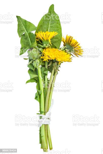 Dandelions on a white background picture id986626404?b=1&k=6&m=986626404&s=612x612&h=5puotuq3sqey5e7abu0 kispdrckpt4 3asz0xlvffs=