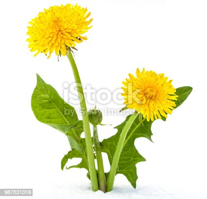 dandelions on a white background
