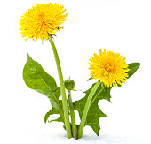 istock Dandelions on a white background 987531016