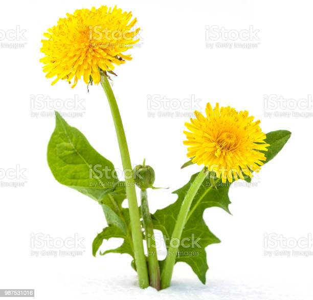 Dandelions on a white background picture id987531016?b=1&k=6&m=987531016&s=612x612&h=e0ct8ahhhwhclsndxau54ra7gv12 9 o kpplpjzdre=