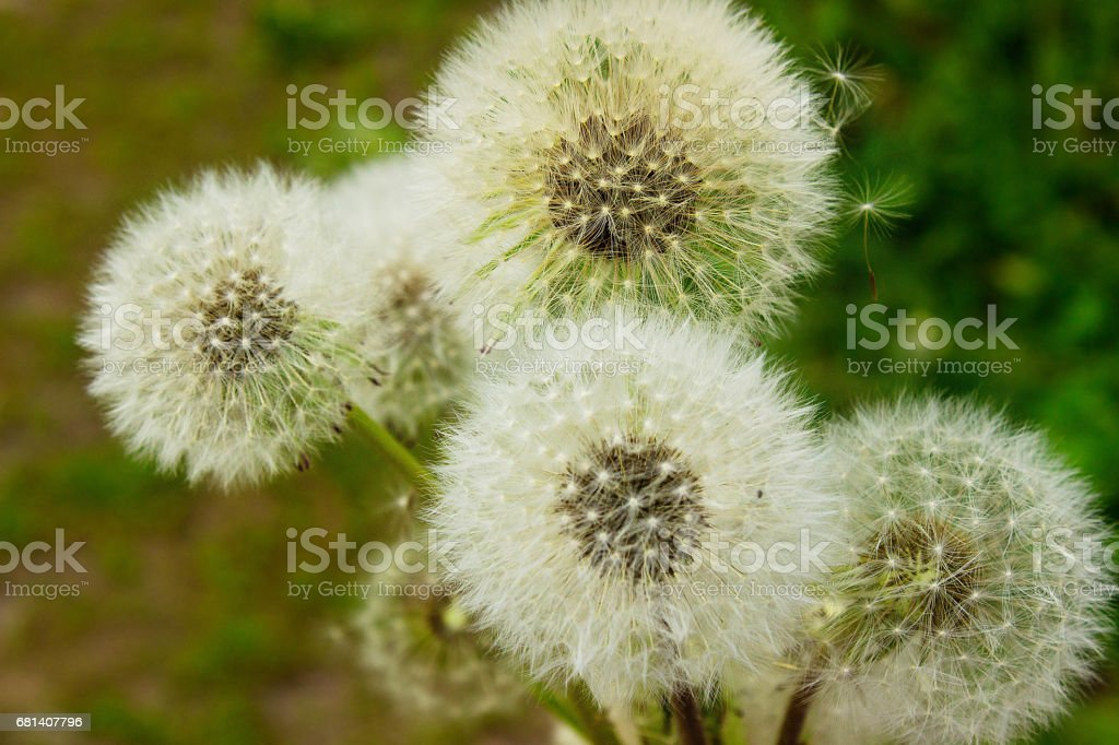 Dandelions on green field in lights sunset. royalty-free stock photo