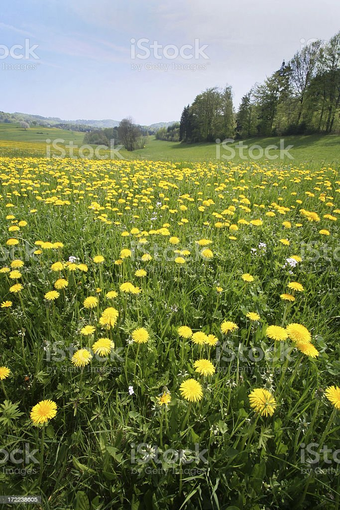 dandelions on meadow royalty-free stock photo