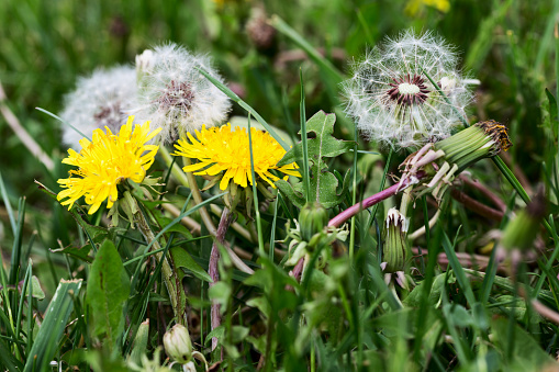 Blooming and wilting dandelions and seed heads together in green grass.