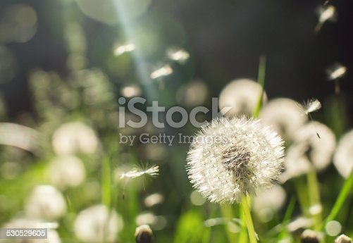 Dandelions on a sunny day. Image with lens flare.