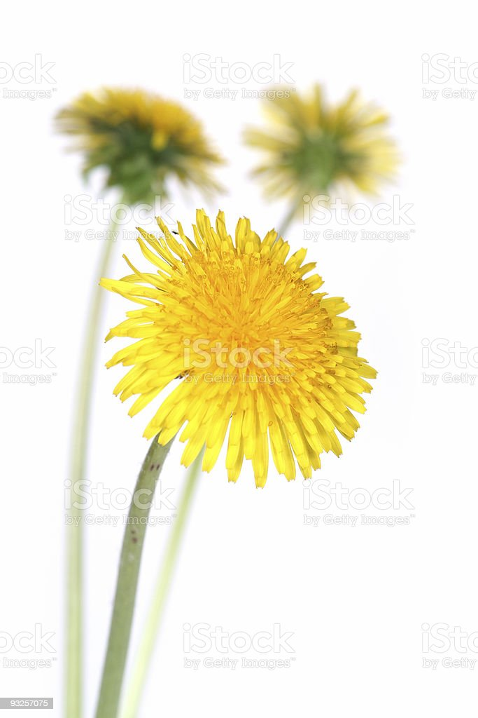dandelions (taraxacum officinale) stock photo