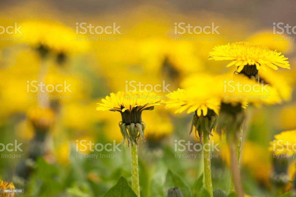 Dandelions zbiór zdjęć royalty-free