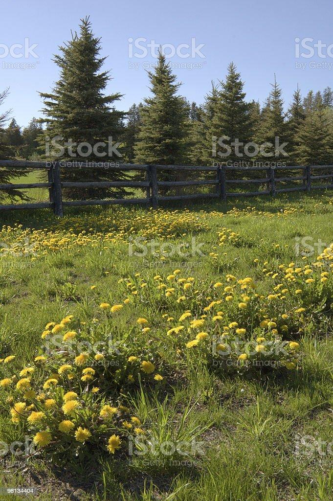 dandelions foto stock royalty-free