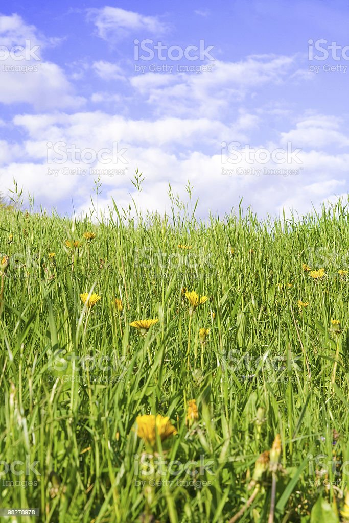 Dandelions royalty-free stock photo