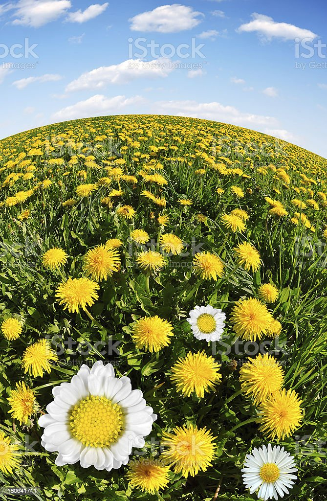 dandelions with daisies royalty-free stock photo