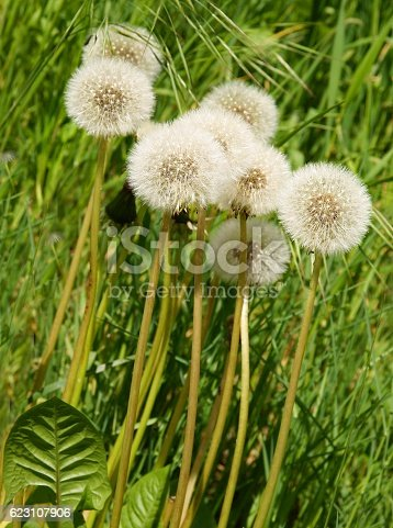 dandelions with fluffy blow-balls and seeds on meadow