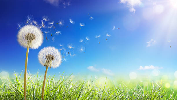 dandelions with wind in field - seeds blowing away blue sky - impollinazione foto e immagini stock