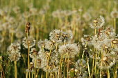Dandelions.botanic, dandelions, flowers,