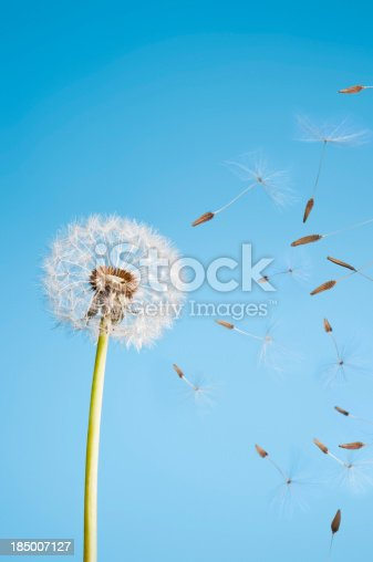 Dandelion seeds Blowing against a blue summer sky