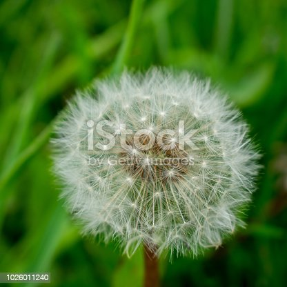 A perennial with a stout taproot, the dandelion is abundant everywhere.