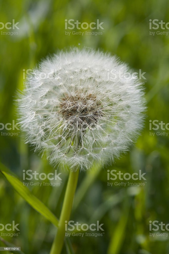 Dandilion Clock Seed head stock photo