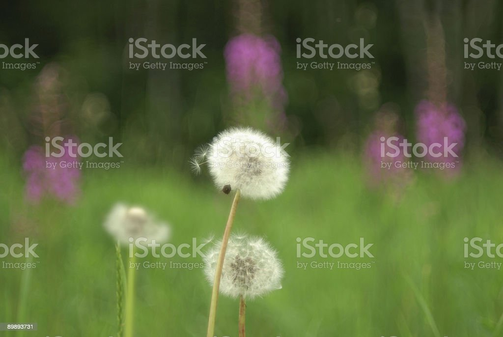 Dandilions on the forest edge royalty-free stock photo