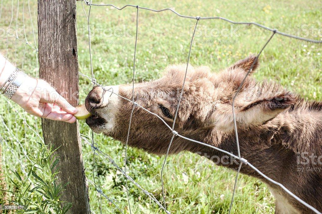 Dando de comer a un burro stock photo