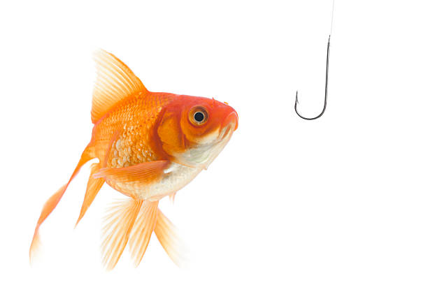 Danger Goldfish looking to the fishhook fishing bait stock pictures, royalty-free photos & images