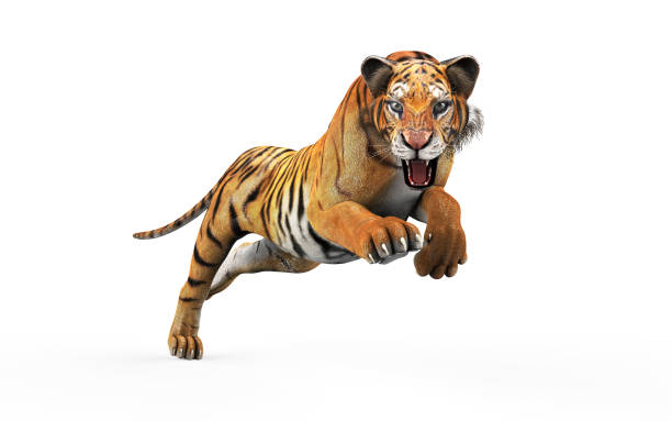 tigre de bengale dangereux avec clipping path. - attaquant photos et images de collection