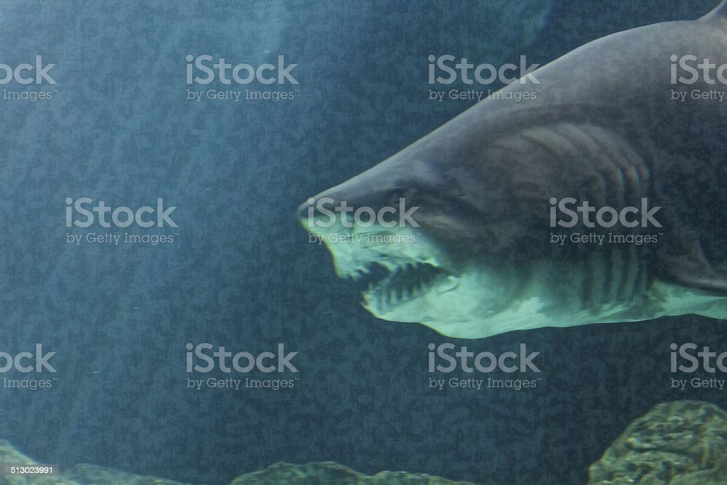 Dangerous Bull Shark Jaw Huge Stock Photo - Download Image