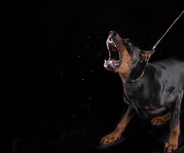 gefährliche hund bellen dobermann - knurren stock-fotos und bilder