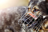 Dangerous dog german shepherde with muzzle portrait or head detail.