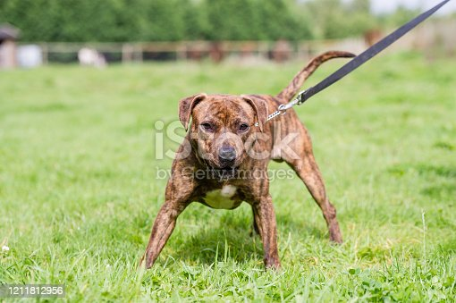 Staffordshire Bull Terrier type dog at loose in the park.
