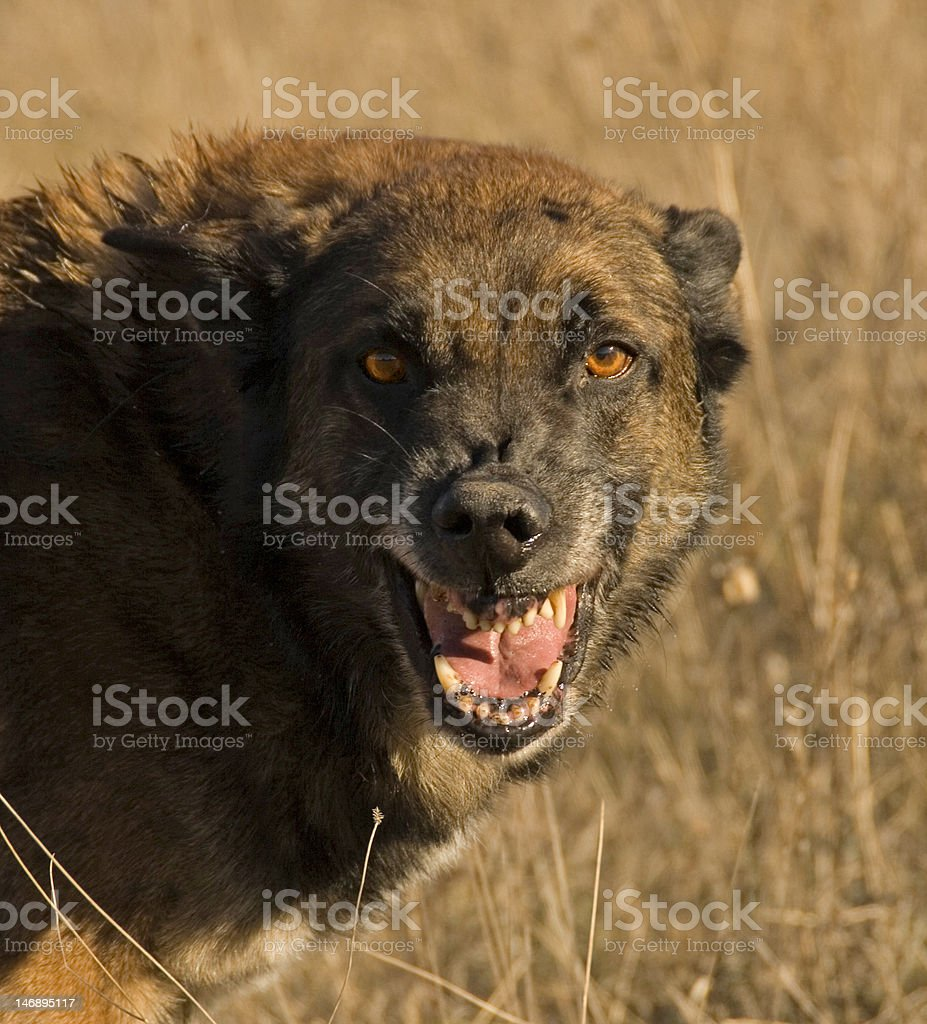 dangerous dog royalty-free stock photo