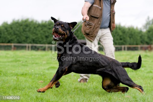 Large aggressive dog being held back by its owner