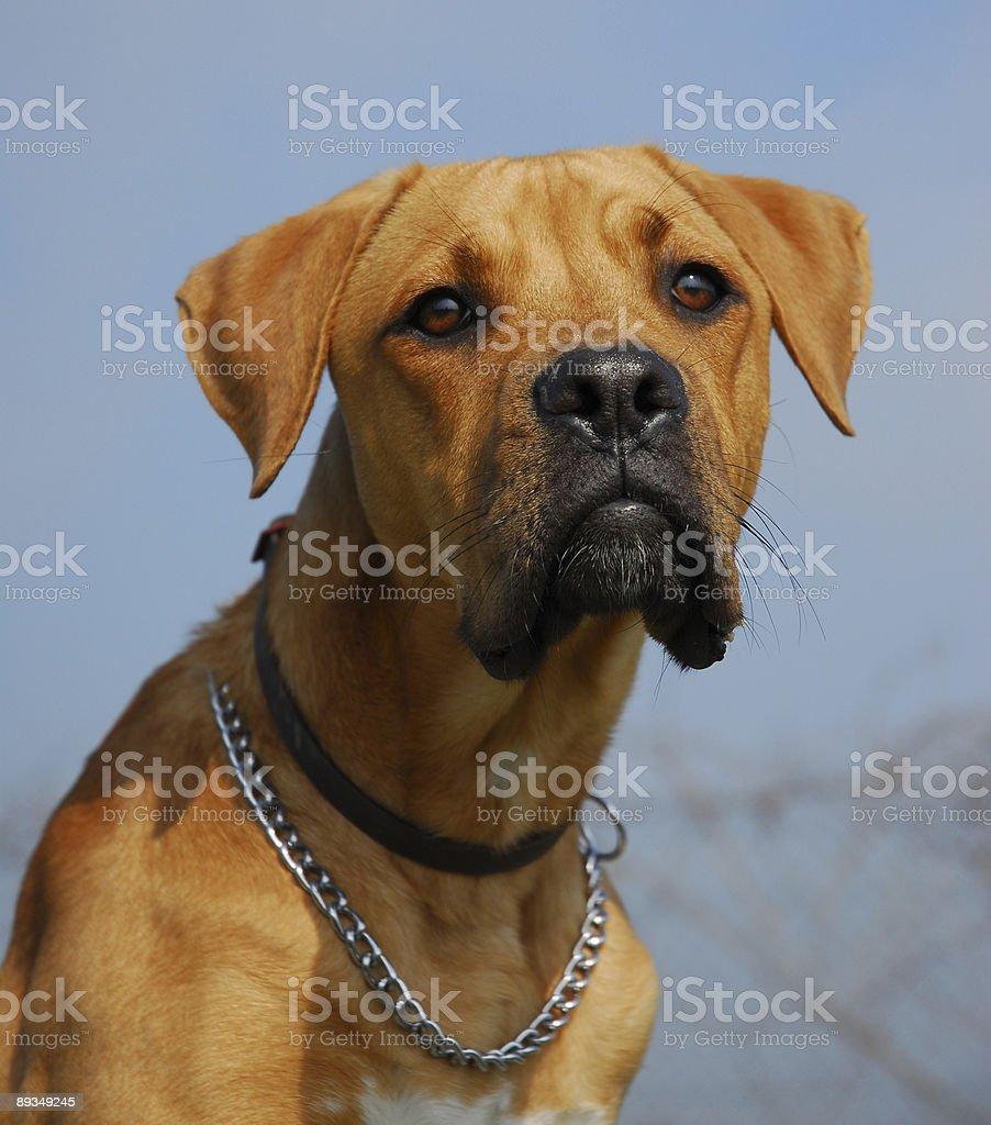 dangerous dog stock photo