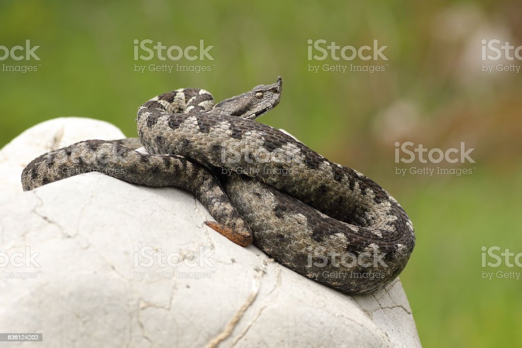 dangerous european viper standing on a stone stock photo