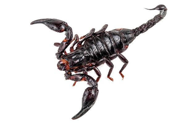 dangerous fried scorpion on white - scorpion stock photos and pictures