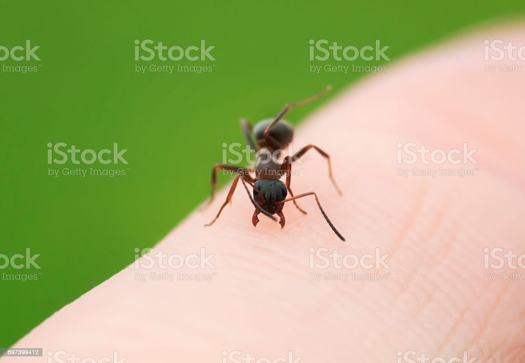 dangerous insect ant crawling on the skin of the hands and threatens stock photo