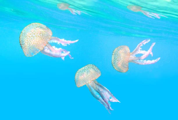 Gefährliche Qualle, bekannt als The Mauve Stinger, Pelagia noctiluca schwimmt im Mittelmeer. – Foto