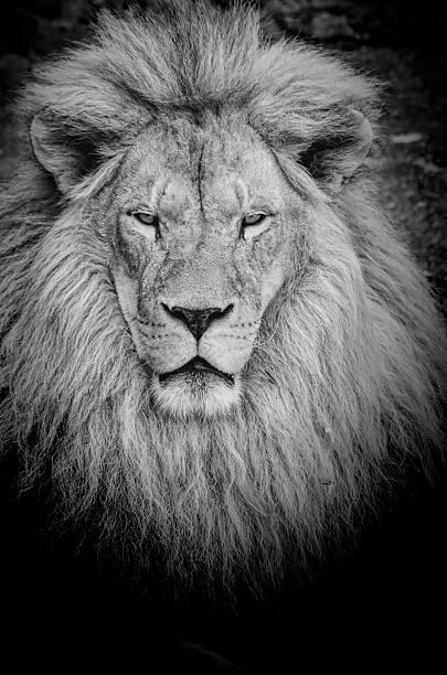Dangerous lion bw picture id530613935?b=1&k=6&m=530613935&s=612x612&w=0&h=nxa8 eurhmpcu  cy936xugqttdu2maq3azwt7l4z e=