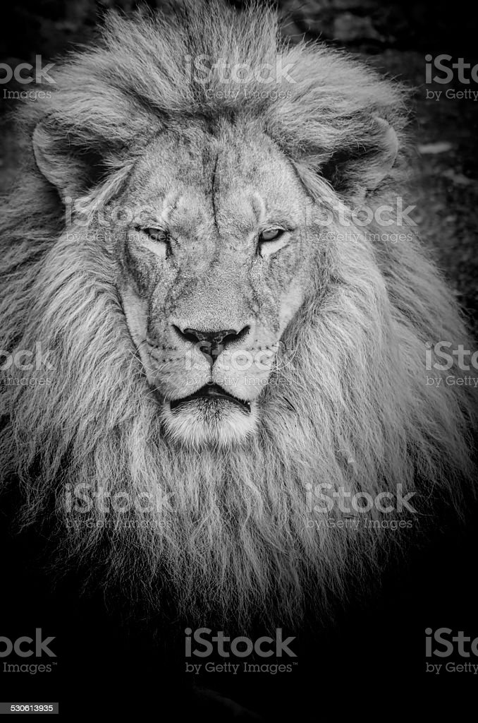 Dangerous lion b&w stock photo