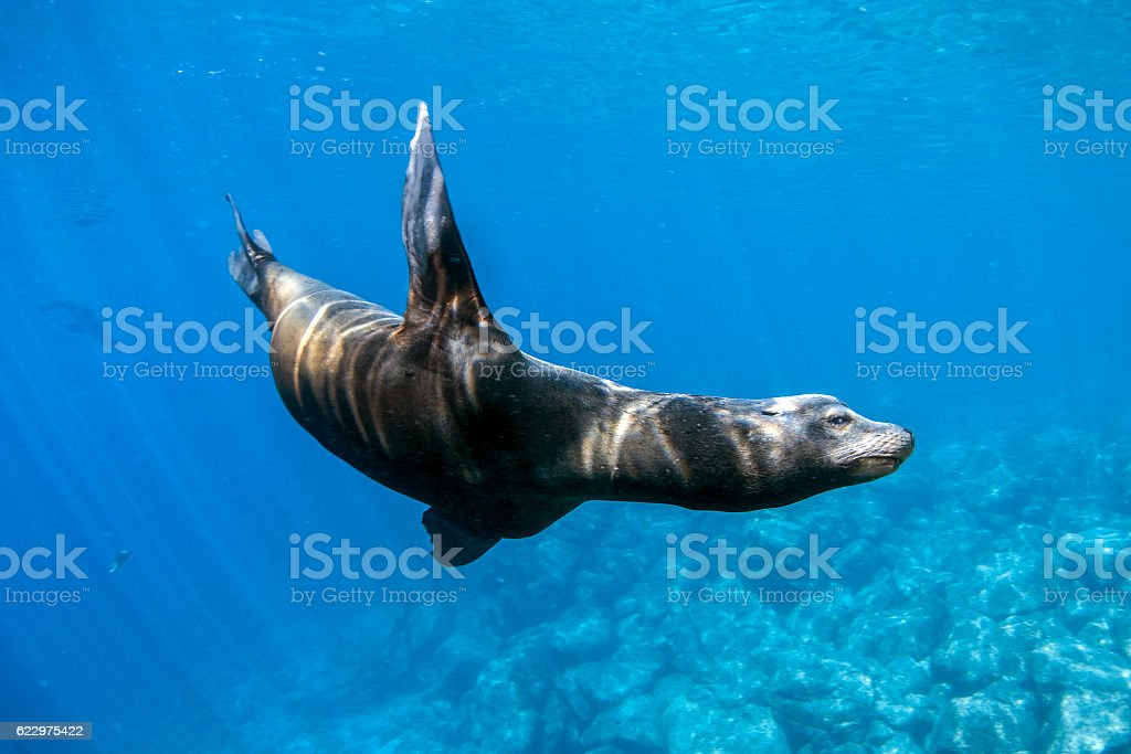 dangerous male sea lion coming to attack you stock photo