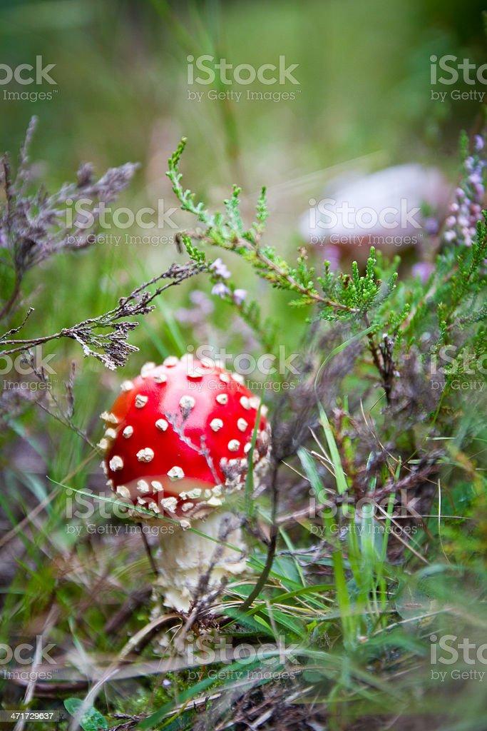Dangerous mushroom royalty-free stock photo