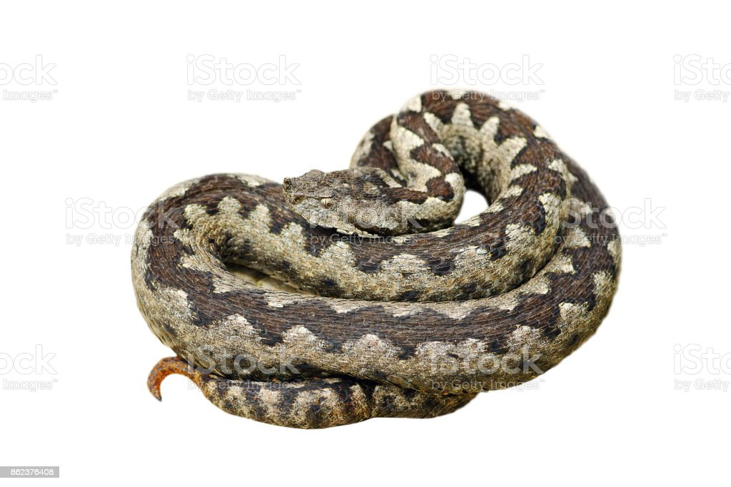 dangerous nose horned adder stock photo
