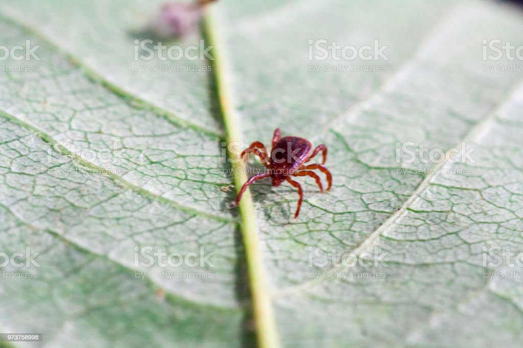 A dangerous parasite and infection carrier mite stock photo