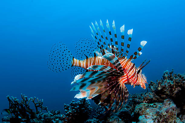 dangerous - lionfish stock photos and pictures
