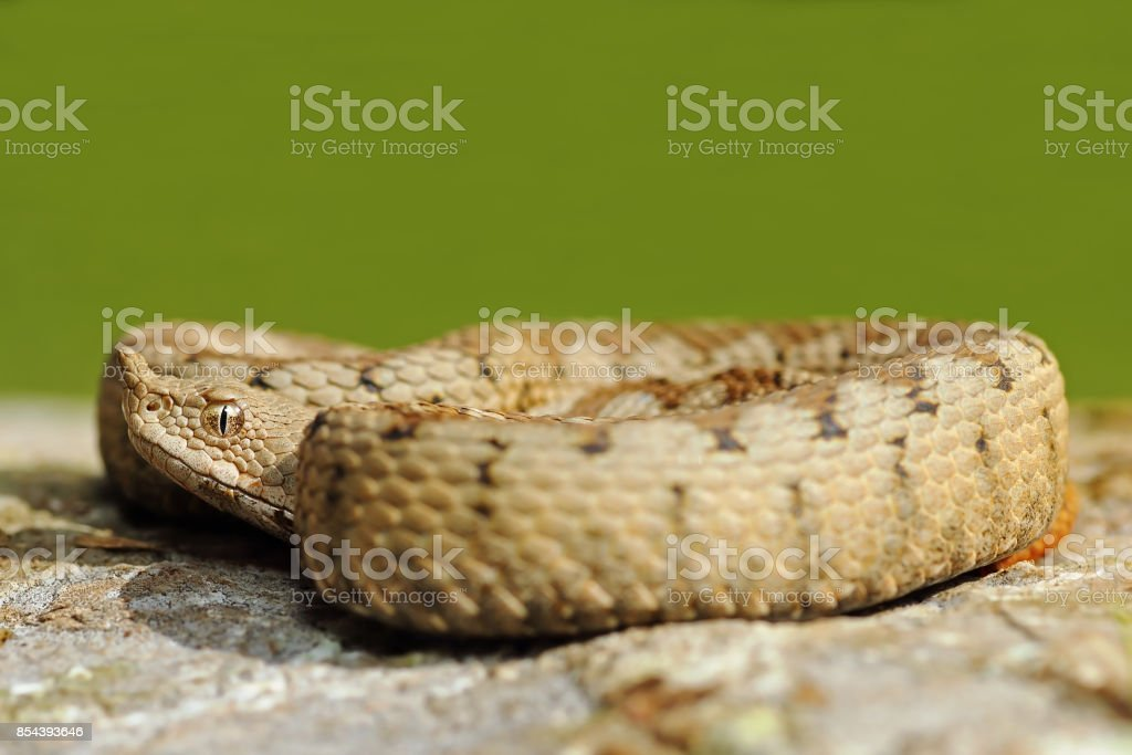 dangerous snake basking on stone stock photo