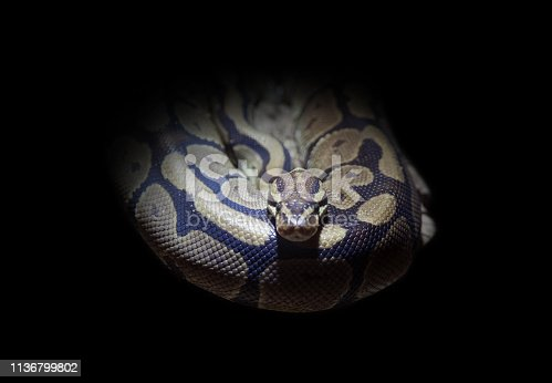 Photography of a snake with black background