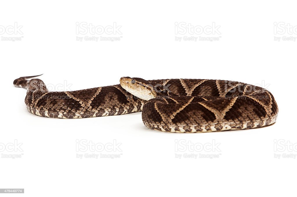 Dangerous Terciopelo Pit Viper Snake stock photo